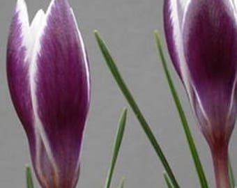 Saffron Crocus seeds,purple white  saffron crocus seeds,crocus of Kozani seeds,223,gardening,