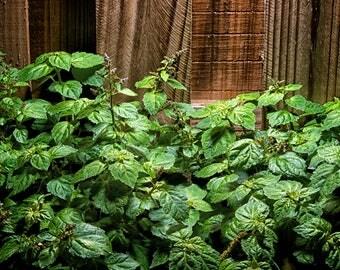 "Patchouli (Pogostemon cablin), Live Plant in 4"" Earth-Friendly Biodegradable Coconut Fiber Pot"