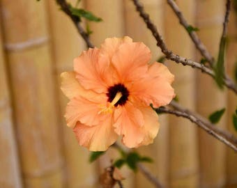 Hawaiian Hibiscus Flower Photography - Floral Hawaii Pastel Orange Tropical Fine Art Wall Print