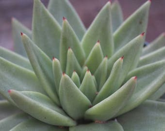 "Echeveria Agavoides 'Aquamarine' 6"" Pot"