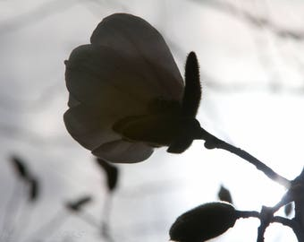 Fine Art Photography -- Magnolia I