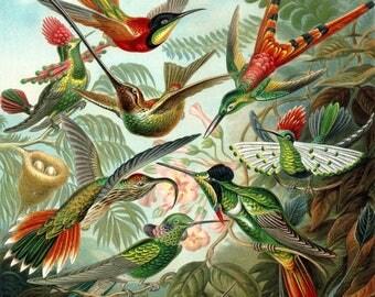Ernst Haeckel Botanical Print - Hummingbird Home Decor Wall Decor Giclee Art Print Poster A4 A3 A2 Large Print FLAT RATE SHIPPING