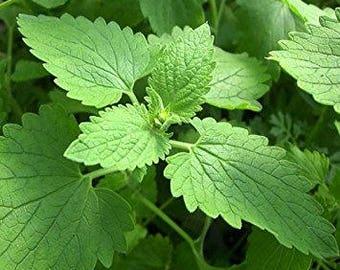 Catnip Plant, Nepeta cataria Plant, Catnip seeds