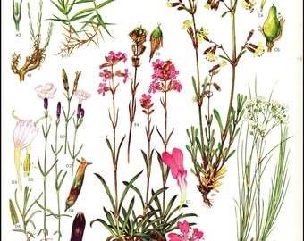 Plate 13 Europe Wild Flowers painted by Barbara Everard. The page is approx. 9inches wide and 12 inches tall.