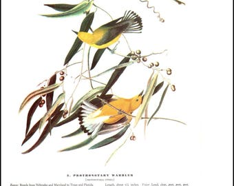 Prothonotary Warbler and Purple Finch by J J Audubon. The page is approx. 8.5 inches wide and 12 inches tall.
