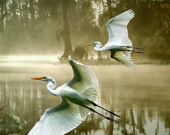 Two Egrets flying in fog
