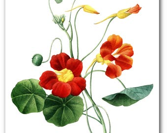Flower Print, Botanical Illustration, Tropaeolum Majus Var, Garden Art, Floral Theme Decor, 8 x 10 inches, Unframed