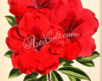 flowers-15183 - Azalea Fanny Ivery red vintage rhododendron picture printable image print high resolution impressive bouquet gorgeous 300dpi