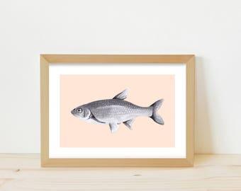 Fish, fish illustration, fish print, fish drawing, pencil drawing, greylead drawing, animal illustration, animal drawing, fish ink drawing