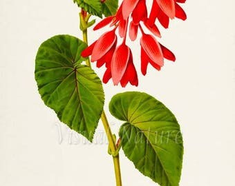Begonia Ferruginea Flower Art Print, Botanical Art Print, Flower Wall Art, Flower Print, Floral Print, red