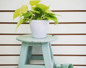 "Philodendron Neon Cordatum Plant 4"""