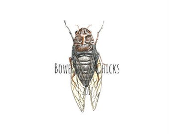 Floury Baker / Cicada / Australian Native Insect / Watercolour / Print / Limited Edition