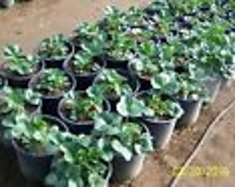 "ORGANIC STRAWBERRY PLANTS - 1"" root -seascape ,everbearing 12 count U.S.A."