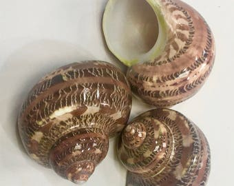 "Seashells -  3 Polished Tapestry Turbo Shells - 2.5""   beach decor/bulk shells/hermit crab shell/shell supplies/sea shells"