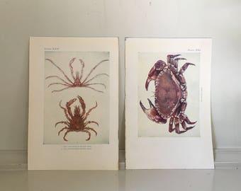 c. 1907 ANTIQUE CRAB PRINTS -  sea life lithographs - original antique prints - ocean beach house art - nautical art - set of 2