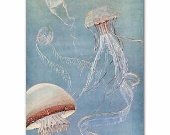"Jellyfish Wall Art, Ocean Decor (Vintage Beach House Art, Office Wall Art) --- ""Rosebud Jellyfish"" No. 311"