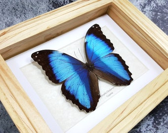 FREE SHIPPING Real Framed Blue Morpho Deidamia A- Quality Butterfly Framed Taxidermy #53