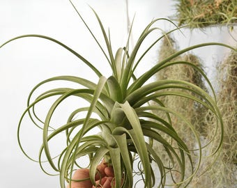 LARGE Air Plant Tillandsia Redy, Hanging Air Plant, Indoor Plant, Rare Air Plants Xerographica, Housewarming Gift, Hanging Plant, Airplant