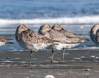 Kuaka/Godwit Photo Print - New Zealand Native Birds