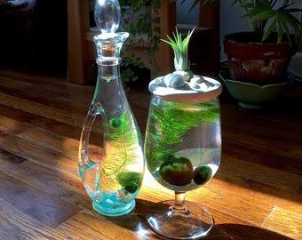 SALE! Live Marimo Moss Ball Mini Cruet Terrarium Unique Kitchen Decor