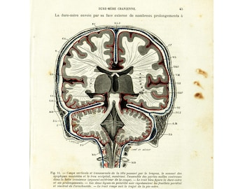 anatomie descriptive du cerveau pdf
