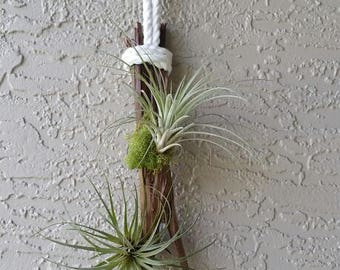 Driftwood Air Plant Hanging