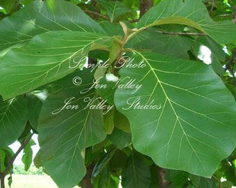 10 seeds Teak Tree clusters of pure white blooms Rare Tropical Great container plant Tectona grandis