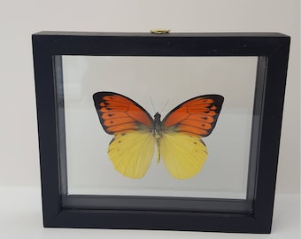 Black frame butterfly