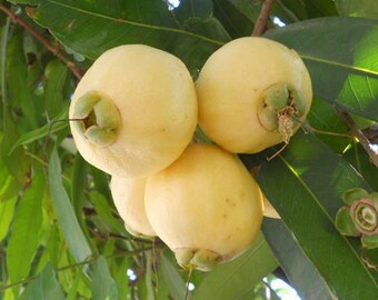 Rose Apple / Syzygium Jambos - 1 potted plant, Comb Ship
