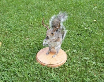 8 Point Buck Gray Squirrel - Standing - Novelty - Mount - Taxidermy