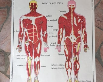 ROSSIGNOL MDI Vintage French School Poster anatomy Two Sides MUSCLES 03021811