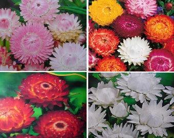 Helichrysum bracteatum (4 colours)