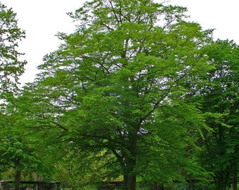 20 Carpinus betulus Seeds, Pyramid Hornbeam Seeds,