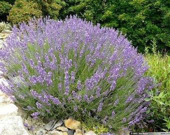 50  lavandula officinalis Seeds,  lavender Seeds