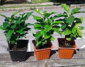 2 pots of Cafe Arabica plants- Coffee plant seedlings,10-15 plants!