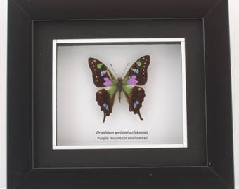 Graphium weiskei arfakensis (Purple Mountain Swallowtail) Taxidermy Butterfly in Matted Shadow Box Frame - Wall Decoration