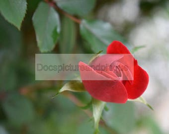 Red rose bud picture photograph 8x10