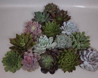 Assorted Succulents | 6 x Echeveria (Succulents) Assorted 15cm