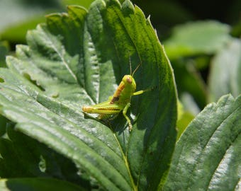 Wildlife, Cricket Leaves, Greens, Photography, Prints