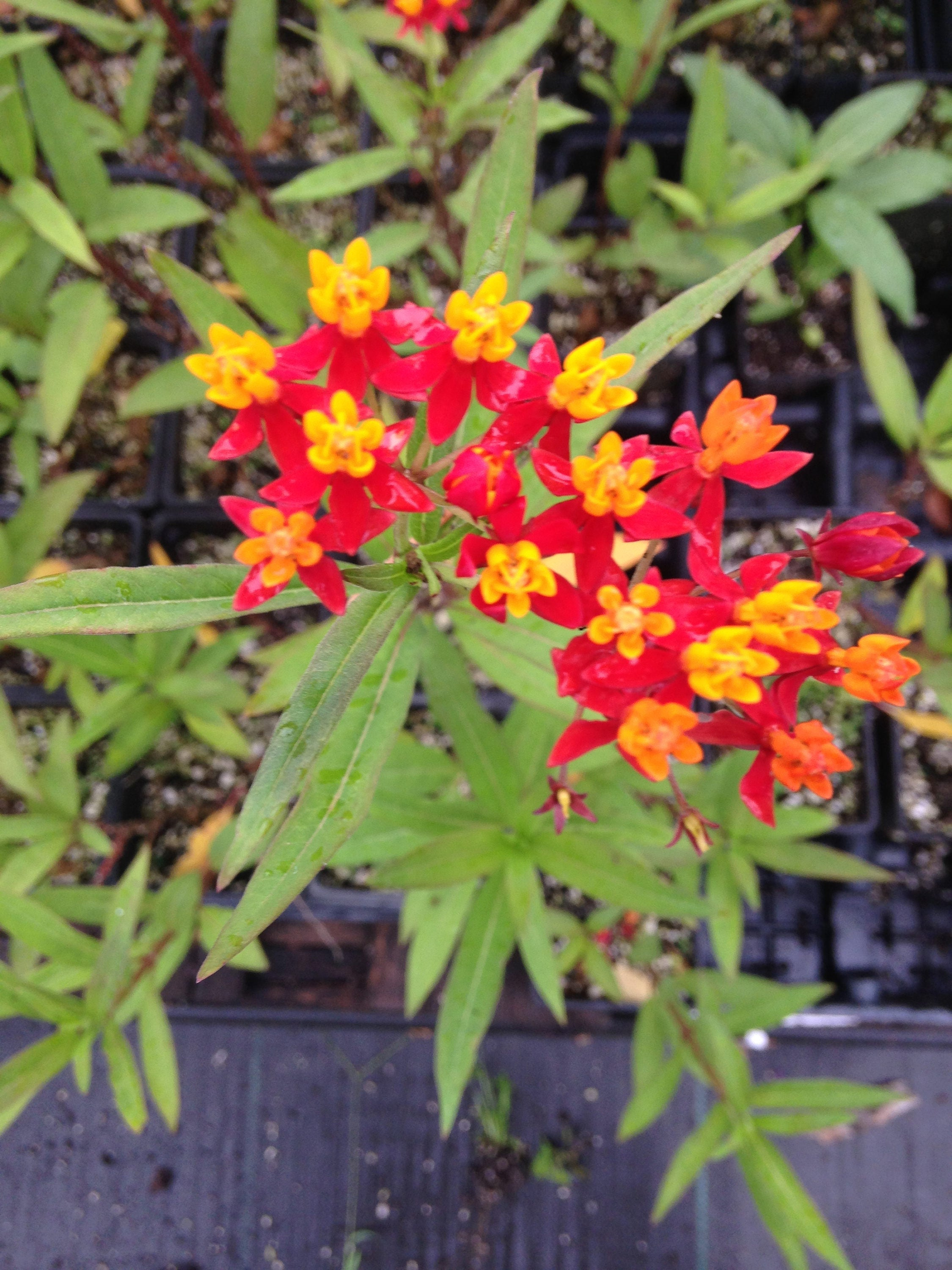 Red Butterfly Milkweed Asclepias Curassavica Red: Asclepias Curassavica Blood Flower 10 Monarch Butterfly Plants