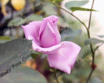 Purple Rosebud Photograph