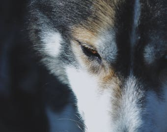 Husky Dog Photograph Bundle/ Home decor