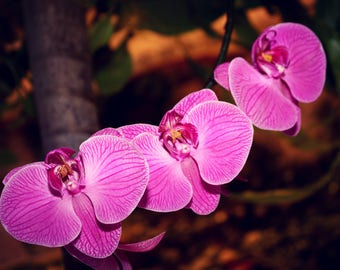 Pink Moth Orchids, Orchid Photography, Orchid Print, Orchid Photo, Orchid Picture, Flower Picture