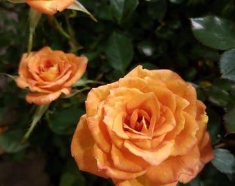 Rose Suntory Series Collection 'Sunrosa Orange Delight'