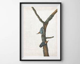 Audubon Bird Print, PRINTABLE ART, Wall Decor, Botanical Print, Bird art, Vintage Print, Poster, Nature print, Downloadable Art, Nuthatch