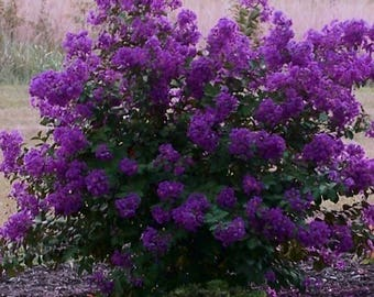 1 Purple Crepe Myrtle plant 3 to 4 feet tall-9.99 each