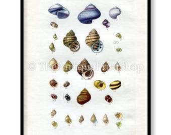 Shell Print Antique Reproduction. Plate XII from British Shells by Sowerby pub. 1859. Wall Decor for, Hamptons, Shabby Chic, Beach House
