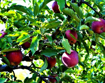 Theirbach Apple Orchard