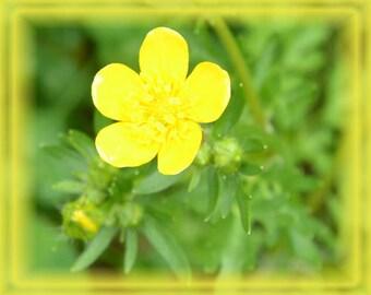 Bulbous Buttercup Flower Essence