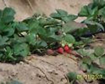 "ORGANIC STRAWBERRY PLANTS - 1/4 "" root -eversweet ,everbearing 15 count U.S.A."